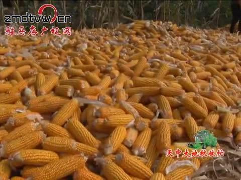 平舆县80万亩玉米喜获丰收