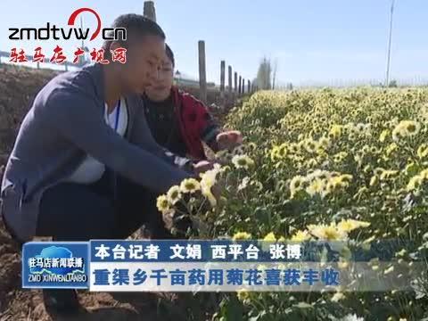 重渠乡千亩药用菊花喜获丰收