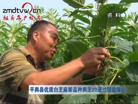 平舆县优质白芝麻新品种舆芝20通过国家鉴定