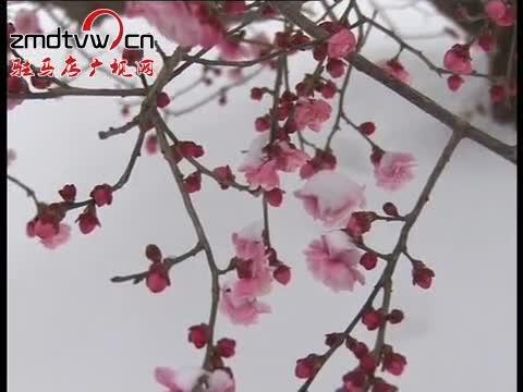 嵖岈山温泉小镇:万株梅花迎雪绽放