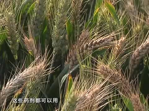 小麦专家指导麦田后期管理