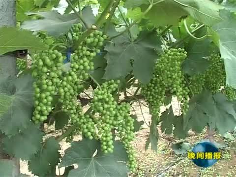 泌阳:科学管理 促进葡萄丰产丰收