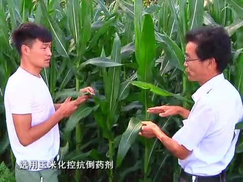 玉米管理正当时
