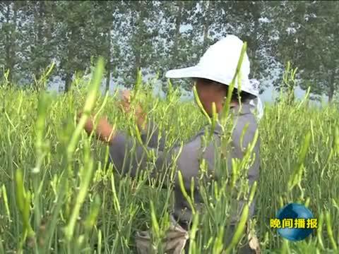 """平舆:黄花菜成了农民的""""黄金菜"""""""
