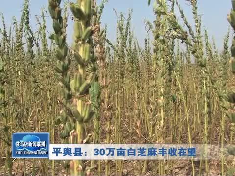 平舆县:30万亩白芝麻丰收在望