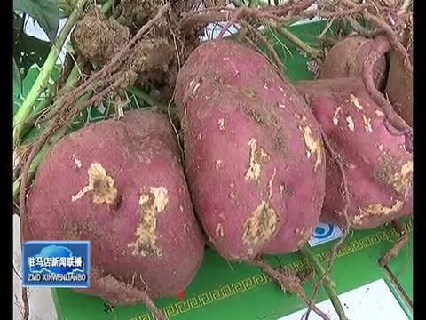 """确山县顺利通过""""国家红薯种植综合标准化示范区""""考核"""