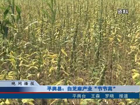 """平舆县:白芝麻产业""""节节高"""""""
