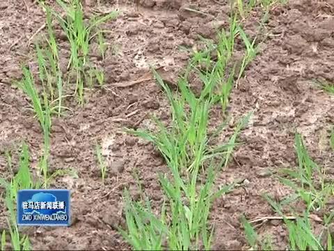 阴雨天气影响麦播 农业专家前来支招