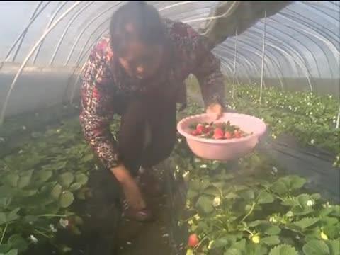 水果草莓上市早价格高