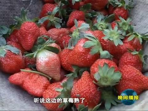 诱人草莓醉游客