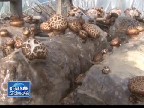 泌阳县香菇生产实现新突破 年产值突破50亿元