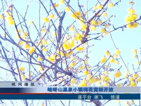 嵖岈山温泉小镇梅花竞相开放
