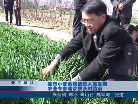 我市小麦条锈病进入高发期 农业专家建议要及时防治