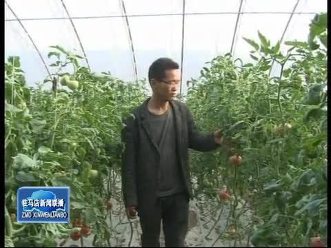 遂平:反季节蔬菜采摘 成为农民致富增收新途径