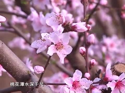 桃花盛开 游人纷至沓来