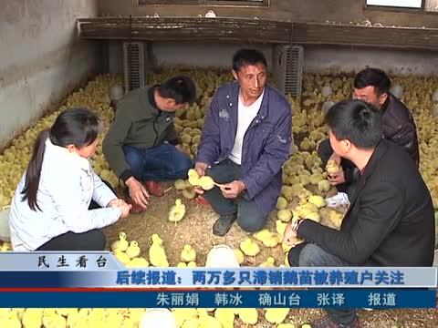 两万多只滞销鹅苗被养殖户关注