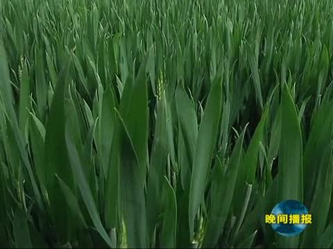 市农业专家提醒:要积极防治小麦中后期病虫害