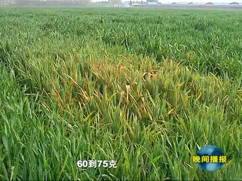 雨水较多 小麦病虫害防治进入关键期