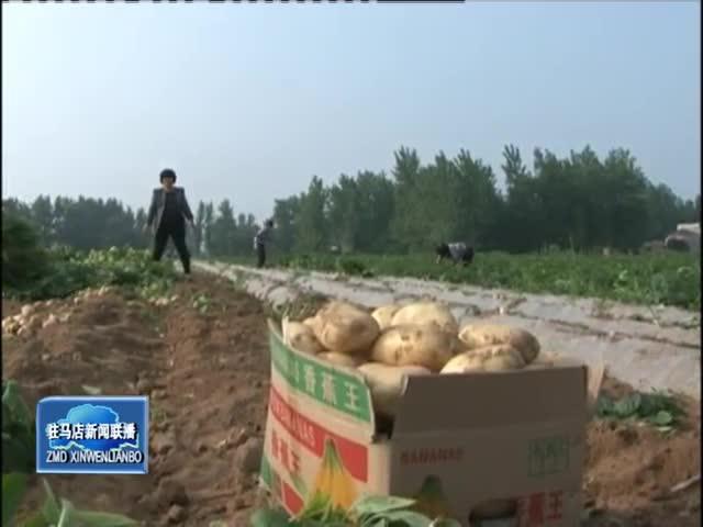 上蔡邵店镇8000亩土豆喜获丰收