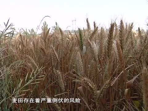 市气象台发布小麦倒伏预警