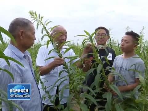 刘世杨:芝麻育种当作毕生追求