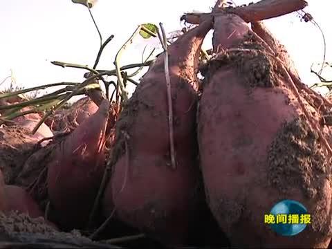 红薯丰收给农民带来致富希望
