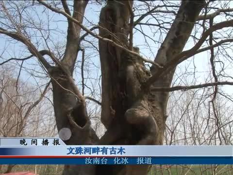文殊河畔有古木