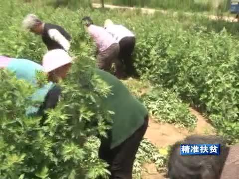汝南:大面积种植艾草 引领群众脱贫致富