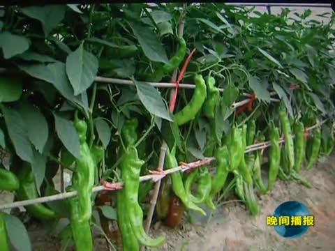 市农科院辣椒品种获河南省农业科技系统科技二等奖