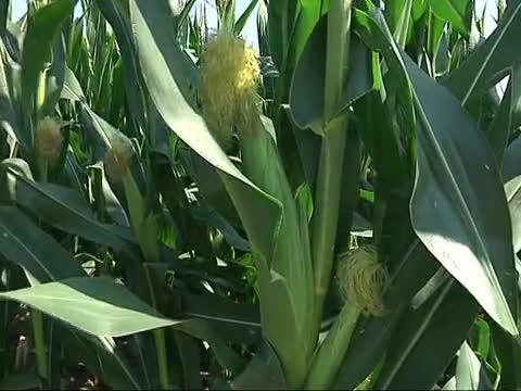 高温干旱 专家支招田间玉米管理