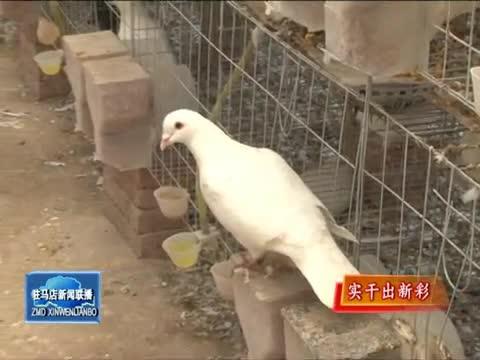高登辉养鸽走上致富路