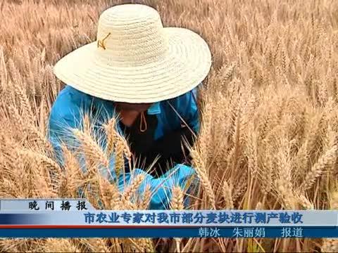 市农业专家对我市部分麦块进行测产验收