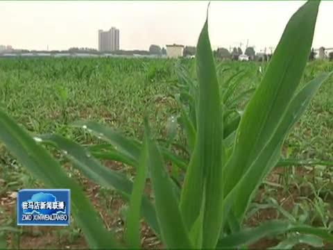 农业专家提醒严防草地贪夜蛾在本地传播