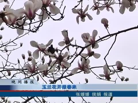 玉蘭花開報春來