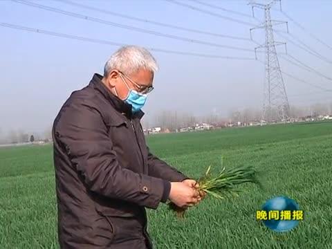 我市小麦长势良好 春耕备播麦田管理正当时