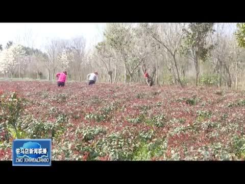 上蔡县和店镇花木种植成农民致富的支柱产业