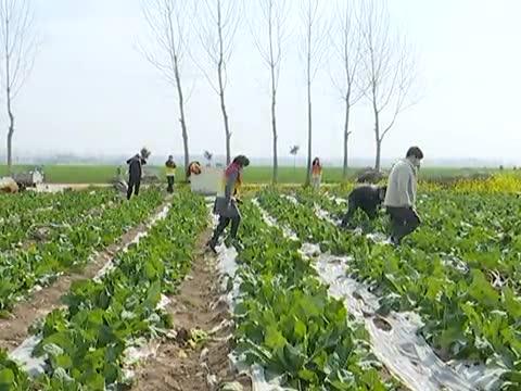 花菜滯銷愁壞菜農愛心團隊在行動