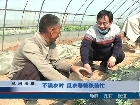 不誤農時 瓜農移栽秧苗忙