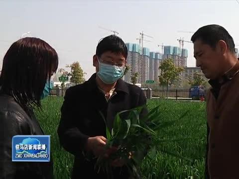 市農業專家:抓住有利時機 做好小麥田間管理
