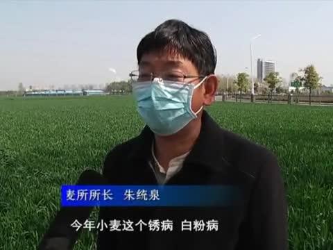 農業專家提醒:及時防治小麥條銹病