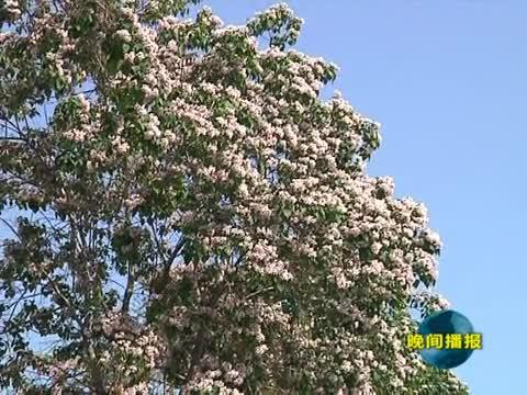 楸树花开 街头的一道风景线