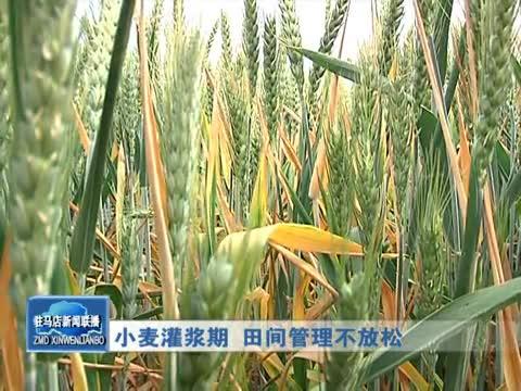 小麥灌漿期 田間管理不放松