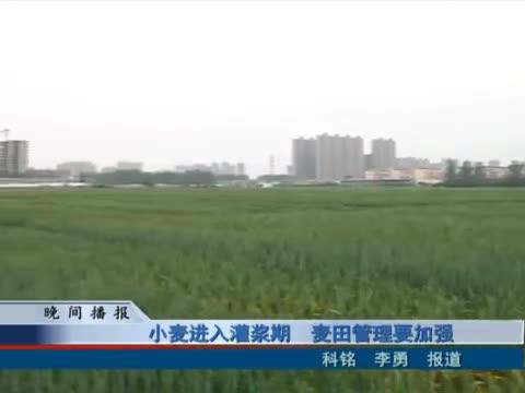 小麦进入灌浆期 麦田管理要加强