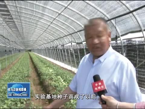 平舆县:种下幸福草 走上致富路