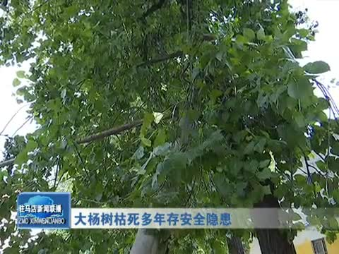 大杨树枯死多年存安全隐患