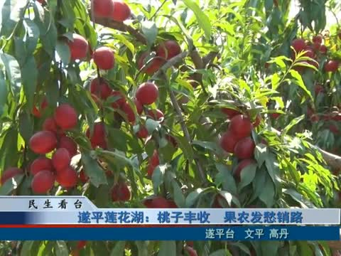 遂平莲花湖:桃子丰收 果农发愁销路