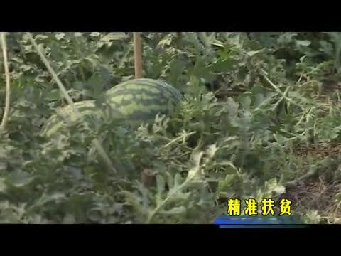 上蔡东洪杨沈庄村:大棚西瓜让村民日子甜蜜蜜