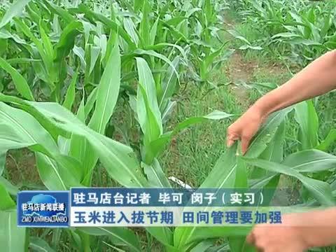 玉米进入拔节期 田间管理要加强