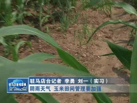 阴雨天气 玉米田间管理要加强