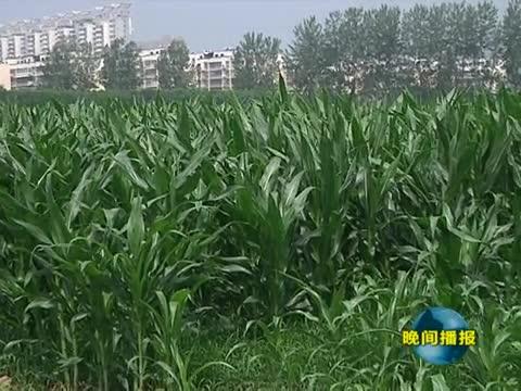 陰雨天氣應加強玉米田間管理